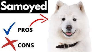 Samoyed Pros And Cons | The Good AND The Bad!!!