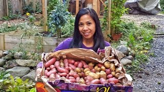 Bountiful Potato Harvest 37 Pounds! Fall 2014 Pacific Northwest Garden Mom