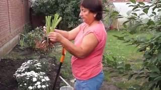 Как посадить лилейник в грунт.Посадка лилейника.