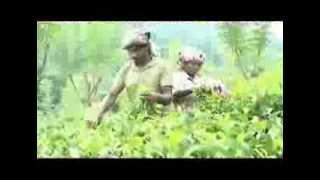 Lipton - Unilever Sustainable Tea