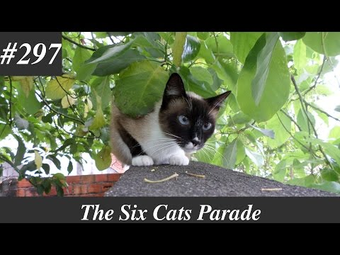 Siamese cat resting in the wall [Natural sounds]