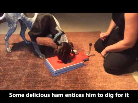 German Shorthaired Pointer filing his own nails