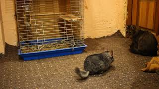 Little Funny Kitten Play with chinchilla Pet.