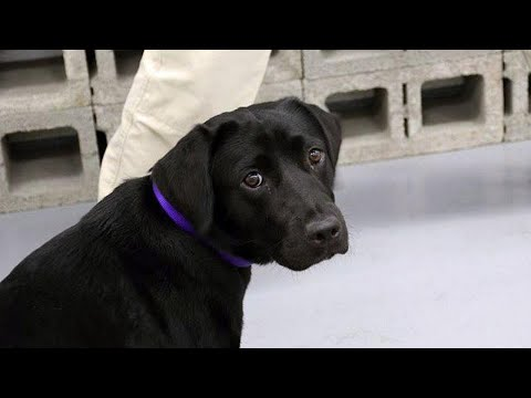 Download Youtube: Adorable Puppy Kicked Out of CIA's Bomb-Sniffing Program After Refusing To Work