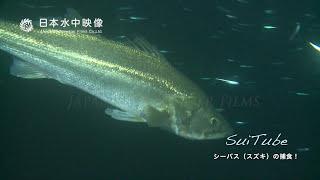 シーバス(スズキ)の捕食!Predation of Japanese sea bass!