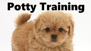 How To Potty Train A Peekapoo Puppy - Peekapoo House Training Tips - Housebreaking Peekapoo Puppies
