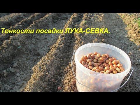 Как сажать лук севок и когда
