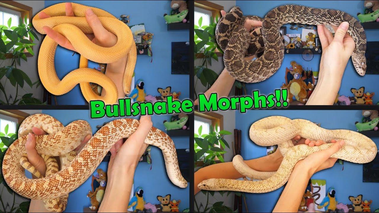 Bullsnake Morphs Explained!