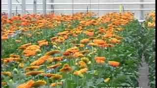У Кузнецовську на одному квадратному метрі вирощують 300 гербер на рік