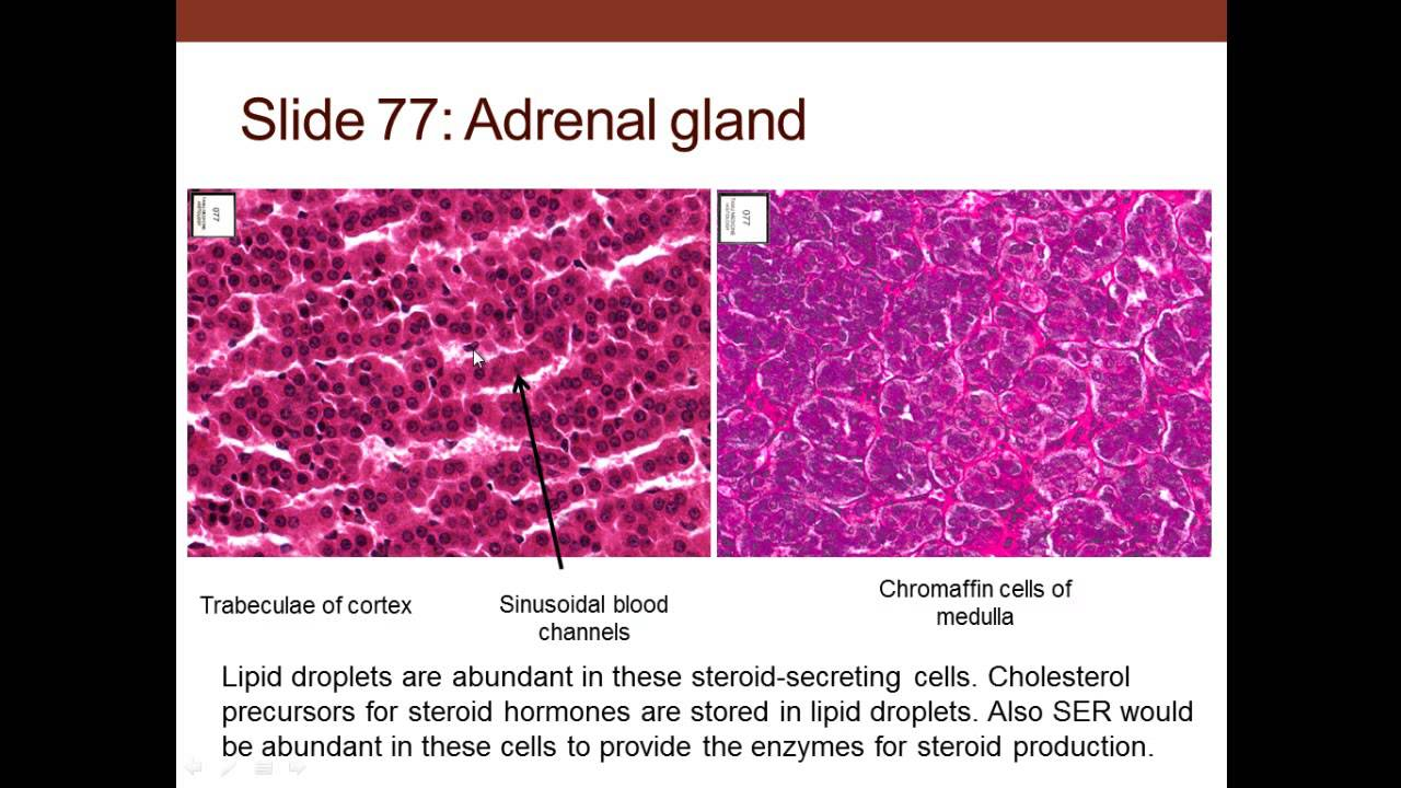 7 Medical School Histology Endocrine System Part 2 Adrenal And