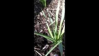 Pruning Tips: Daffodils
