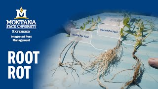 How to Prevent Root Rot in Pulses