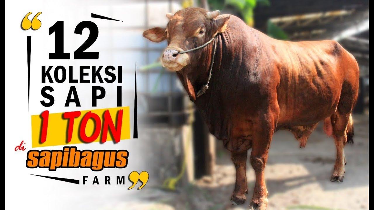 Promo Jual Sapi Qurban 1 Ton #SAPIBAGUS - YouTube