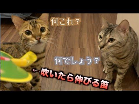 猫たちに吹いたら伸びる笛を吹いたら予想外の顔をした!!