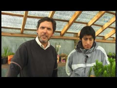 Ecoplant 17   Araucarias y lengas   20 12 2012