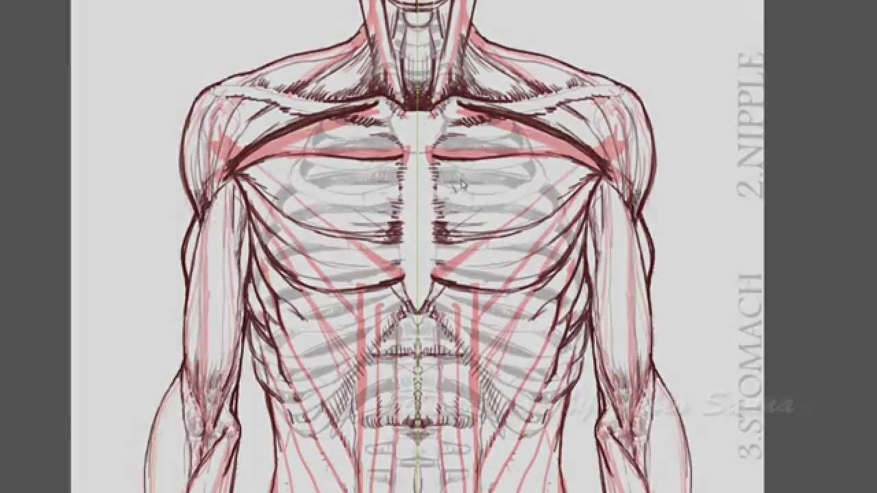 Human Anatomy How To Draw Arms And Hands Front View Youtube