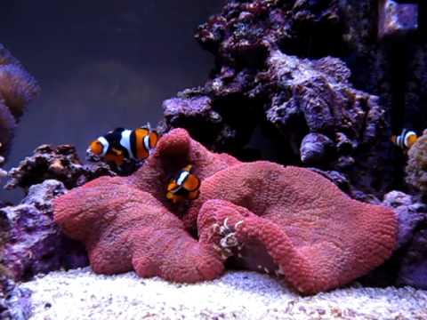 Red Haddoni Anemone Feeding