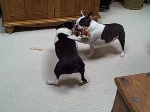 Boston Terrier Dogs Funny Dog