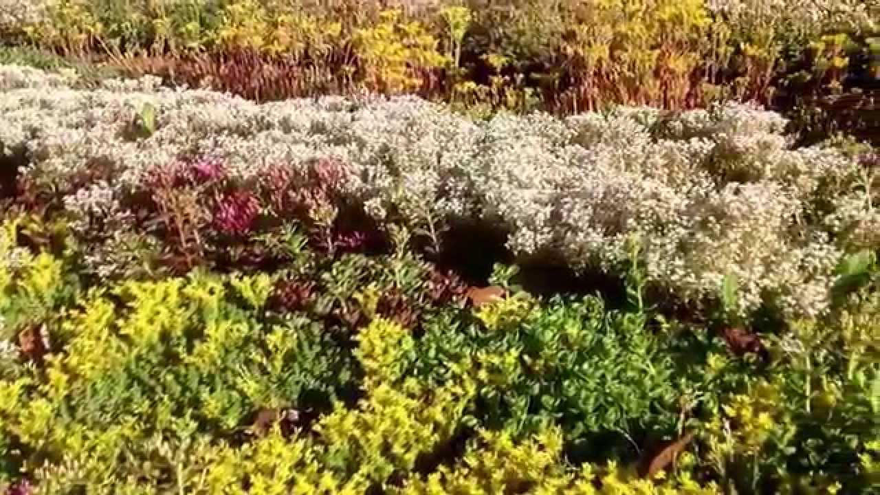 Bc Green Roof Victoria Sedum Mix Youtube