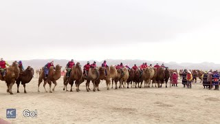 Inner Mongolians flock for fame and glory in camel races