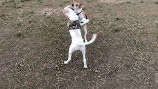 Harrier hound puppies playing