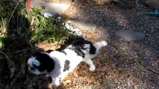 Gibby The Shih Tzu Warming Up For Mating Season ~ Classic Hilarious Pet And Puppy Dog Humor Video