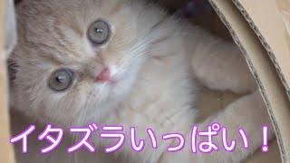 胡蝶蘭にしがみついて花を散らす子猫!お前はコアラかw 先住猫のトイレ中に遊ぼうしちゃうw ♯38