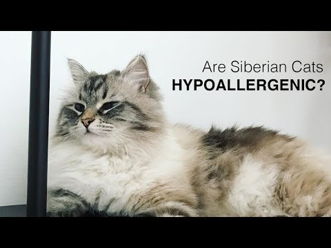 Is a Siberian the Right Cat for You?