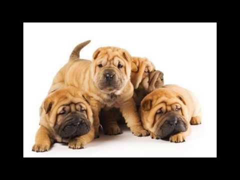 Chó Sa Bì ( Chó Shar Pei ) - Đặc điểm giá tiền chó Sa Bì tại Việt Nam