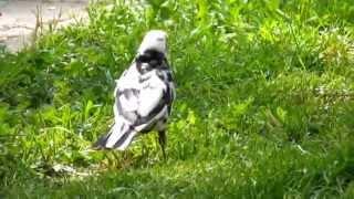 Kos cerny s leucismem4 Turdus merula Blackbird with leucism Adolf Goebel
