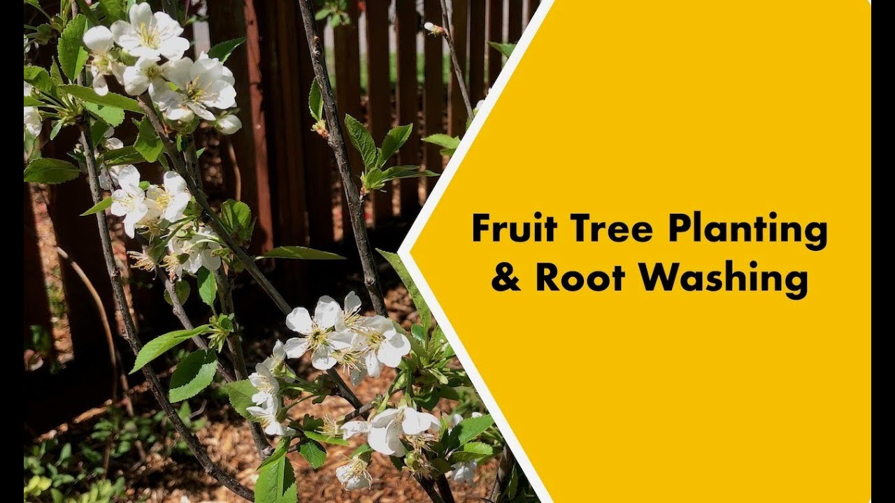 How to Root Wash and Plant a Fruit Tree