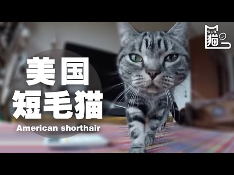 American Shorthair cat -  | 303