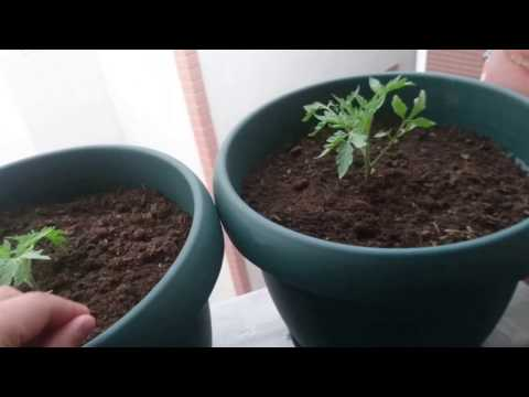 Saksıda domates çilek salatalık patlıcan vs; sulama budama ilaçlama gübreleme (Kanal Tanıtımı)