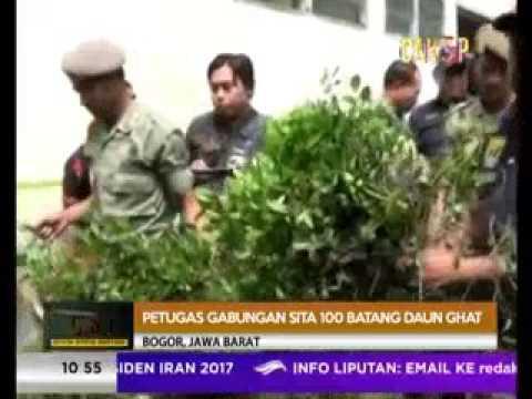 PENGGEREBEGAN LADANG DAUN GHAT DI BOGOR [ CSI RTV 21 APRIL 2017 ]