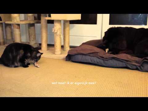 Maine Coon & NewFoundland dog  & Siberian forest cat