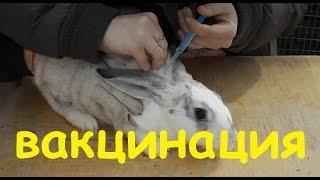 как сделать прививку кролику в домашних условиях