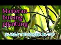 Burung Pijantung Gacor Masteran Paling Di Cari  Mp3 - Mp4 Download
