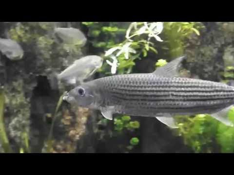 Aggressive fish big freshwater aquarium fish hydrocynus for Big freshwater aquarium fish