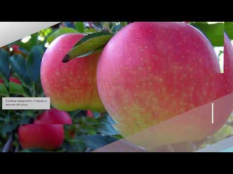 Яблоня Гала - обзор сорта