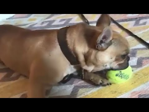 french-bulldog-makes-himself-how-with-squeaky-toy