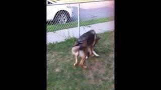 Bulldog Vs German Shepherd... Wrasslin