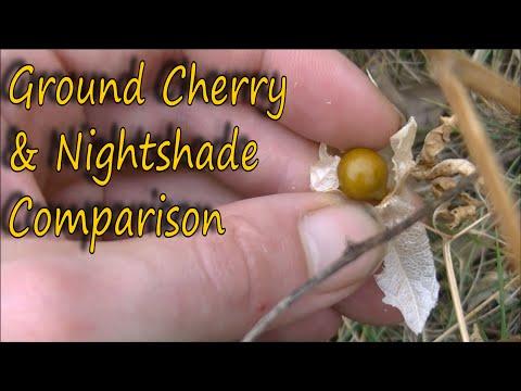 Ground Cherry Find And Nightshade Comparison