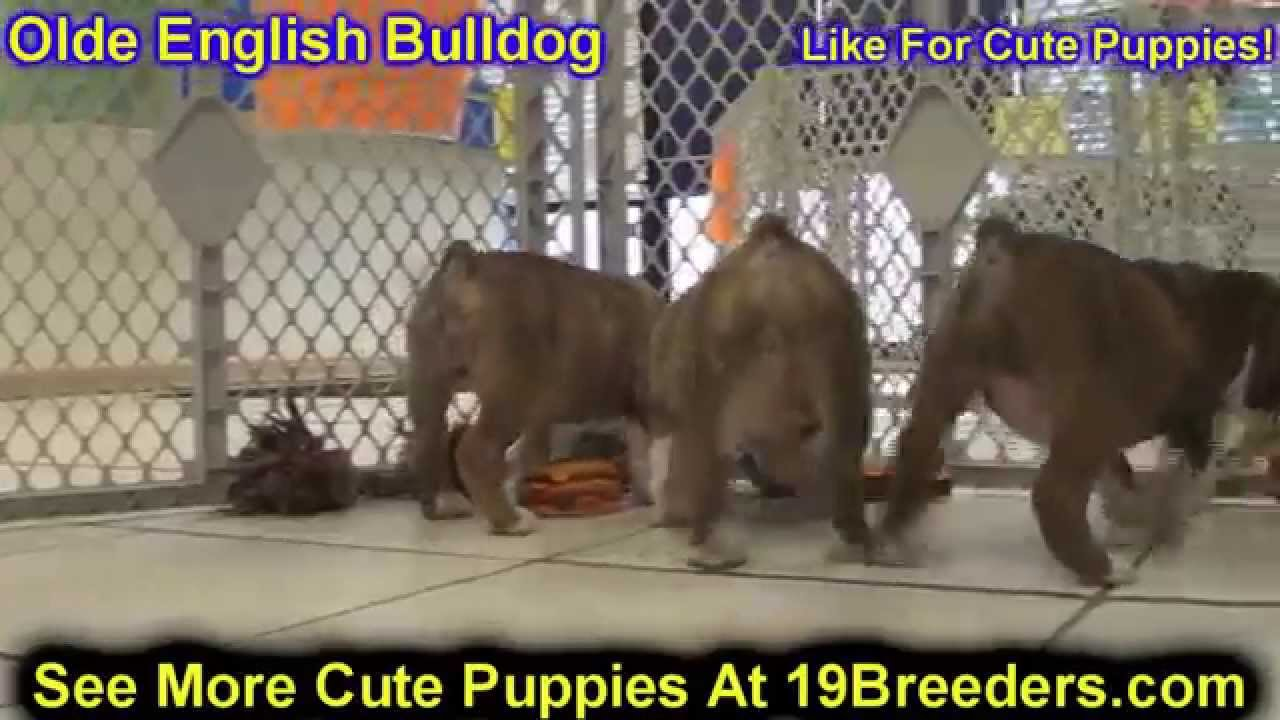 Olde English Bulldog, Puppies, Dogs, For Sale, In Chicago, Illinois, IL,  19Breeders, Rockford