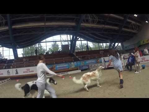 Русские псовые борзые собаки на CACIB Минск 10 июня 2017 года
