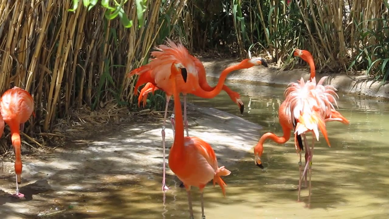 Flamingos Fight And Try To Have Sex