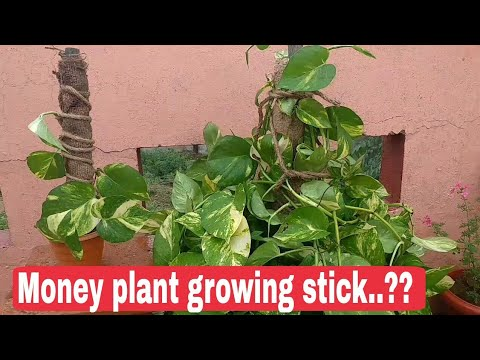 How To Make Money Plant Growing Stick At Home Moss For
