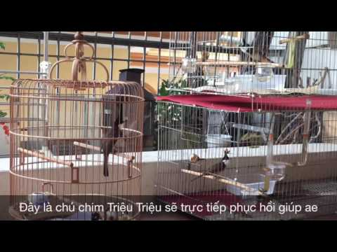 Tiếp nhận 1 ca khó -Kênh về chim Chào mào của Triệu Triệu