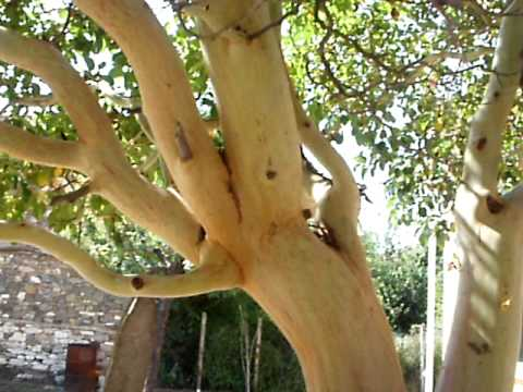 Уникален дървесен вид в Долно Луково,Ивайловградско