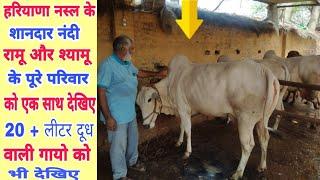 Top beautiful Haryana Desi Cows show quality👌 Ramu and Shyamu bull's family👍 20+ Liter milk yield