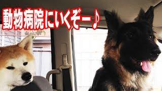 ジャーマンシェパード犬マック君1歳になったので健康診断 フェラリア予...